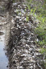 Ridge of Mussels and Dried Mud