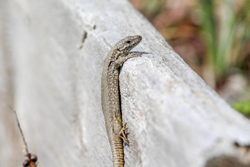Lizard and a Piece of Wood 2
