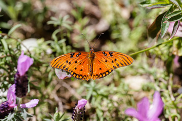 Orange butterfly (Gulf Fritillary) balanced on a green leaf; purple blossoms in the foreground; in Arizona's Sonoran desert.