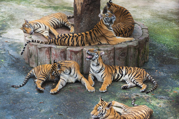 group of bengal tigers resting