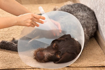 hands putting on the dog plastic elizabethan collar