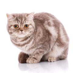 British straight bicolor stripes cat