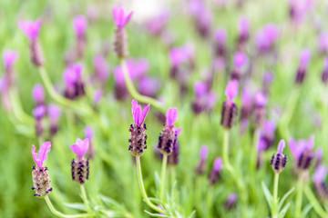 Top view of Lavender flower field