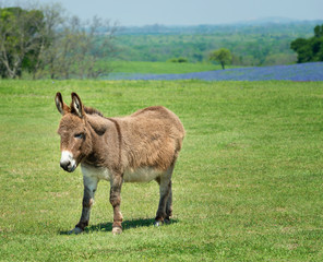 Donkey grazing on green spring pasture in Texas