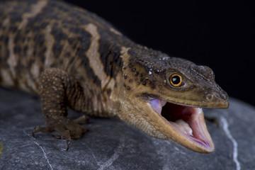 Sierra Gorda rock lizard (Xenosaurus mendozai)