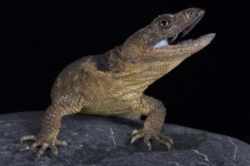 San Martin rock lizard (Xenosaurus sanmartinensis)