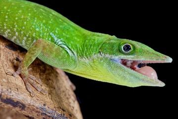 Haitian White Lipped Anole, Anolis Coelestinus