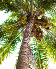 Coconut tree with many coconut and green leaf at low point view