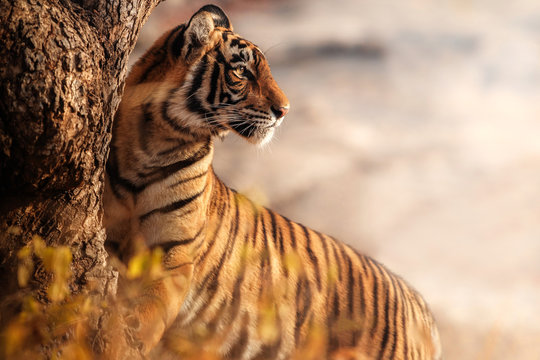 Royal bengal tiger pose with beautiful background. Amazing tiger in the nature habitat. Wildlife scene with dangerous beast. Hot weather in wild India. Panthera tigris tigris.
