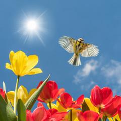 Endlich Frühling! Blaumeise fliegt über blühende Tulpen