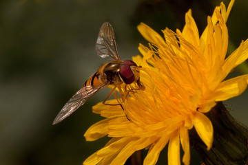 Hoverfly is sitting on yellow flower of coltsfoot. Shiny orange body with and brown stripes and two long wings.