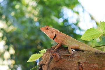 Orange head of Thai Chameleon on tree with natural green  background,Reptile in Thailand