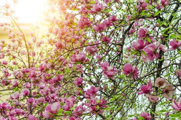 Magnolia flowers on the tree.