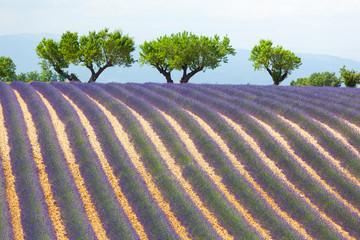Champ de Lavande, Provence, France