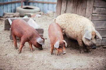 Curious young pigs of Duroc's breed and Hungarian Mangalitsa in yard. Concept of small swine farms in southern Russia