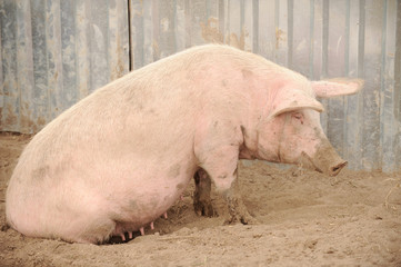 Big swine of Landras's breed in yard. Concept of small pig farms in southern Russia