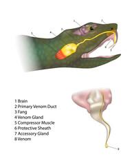 Anatomy snake fangs and venom. Biting snake. Morphology of a Venomous Snake