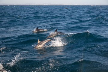 Wild dolphins at Algarve, Portugal