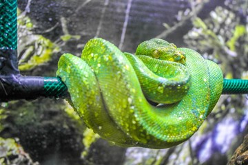 Green Mamba close up, macro