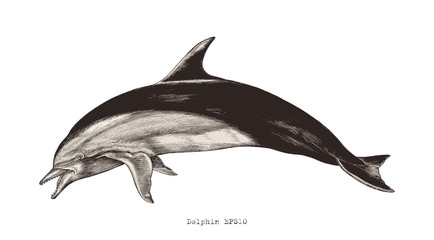 Dolphin hand drawing vintage engraving illustration clipart