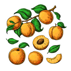 Apricot vector drawing set. Hand drawn fruit, branch and sliced pieces