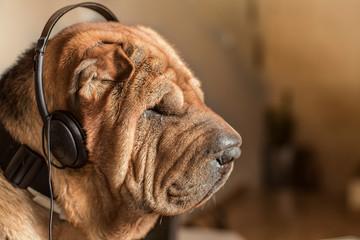 Dog with music headphones