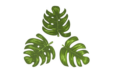 Monstera Tropical Leaves Vector Illustration