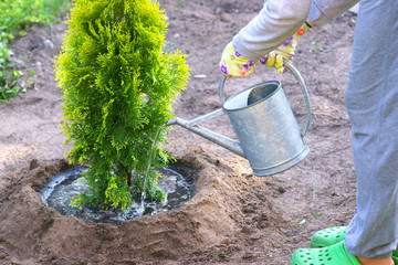 Planting plants step by step / ornamental shrub Thuja Golden Smaragd - watering after planting Wall mural