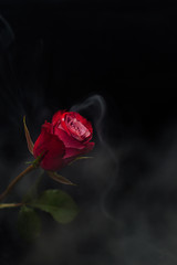 Red rose on a black background with white smoke