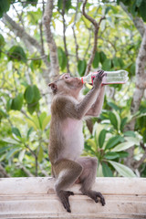 Thirsty monkey (Macaca fascicularis) with empty soda bottle, bottoms up.At khao wang ,Petchburi Thailand