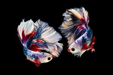 Foto op Plexiglas Vissen The moving moment beautiful of siam betta fish in thailand on black background.