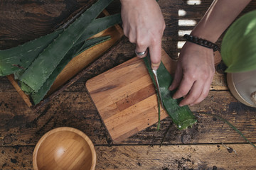 Woman cutting the pods of an aloe vera