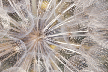 Floral abstract pattern of dandelion seeds from directly above in cold light