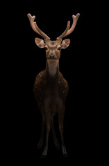male axis deer in the dark
