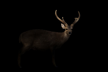 male hog deer in the dark Wall mural