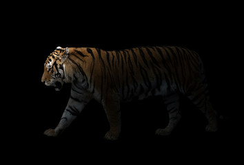 male siberian tiger in the dark
