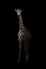 giraffe standing in the dark