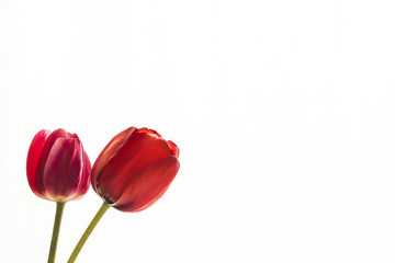 Tulip flowers on white background with space for your text.