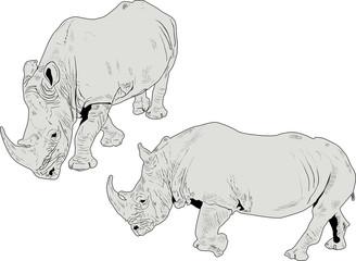 two grey rhinoceroses isolated on white