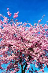 Zierkirschenbaum in der Blüte