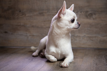 Chiwawa (chihuahua) bianco di profilo