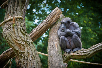 Schimpanse in einem Tierpark sitzt auf einem Baum