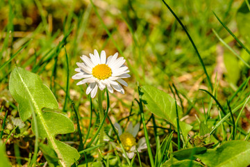 Beautiful wihte daisy in green grass surrounded by leaves