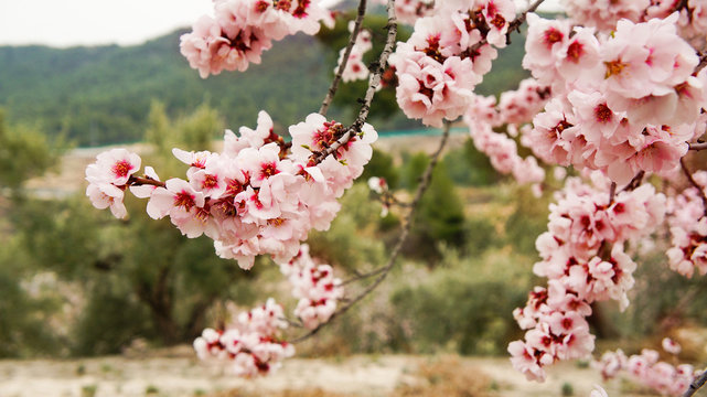 almond blooming