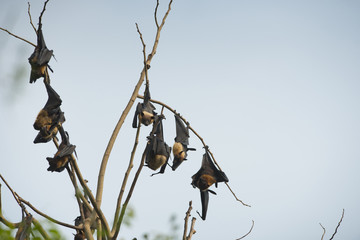 The bats are hanging head on a branch.