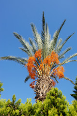Palm Tree with date fruits.