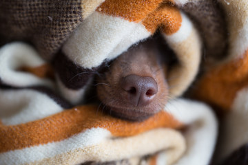 dog's nose from under the blanket. The sleeping