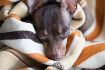 Dog sleeps under the blanket