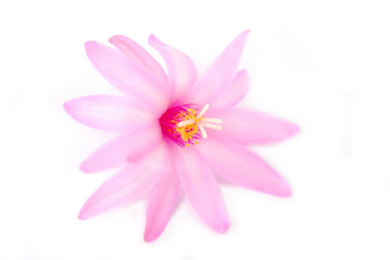 cactus flower pink isolated on white