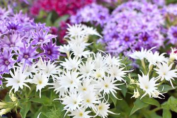 スターフロックスの花